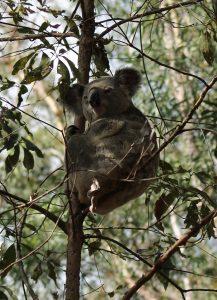 Brandon Raynor Koala